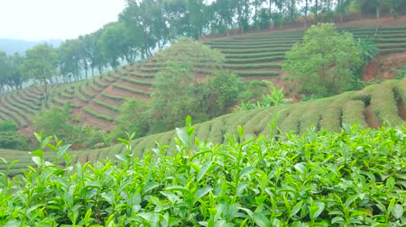 gleba : The view on tea plantation, located on the gentle mountain slope, with bright green leaves of tea shrubs on the foreground, Mae Salong Chinese Yunnan tea village, Chiang Rai, Thailand Wideo