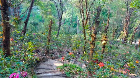 siamês : The narrow alley with blooming rhododendrons in lush forest, located in mountains, Mae Fah Luang Arboretum, Doi Chang Moob, Chiang Rai, Thailand Stock Footage