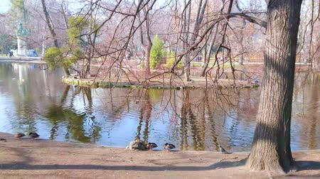 павильон : The small flock of wild ducks sleeps in the shade of trees in Stadtpark of Vienna, Austria