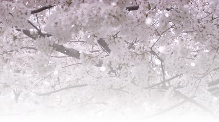 Falling cherry blossom petals on photo background. Shallow depth of field. Slow motion. Stock Footage