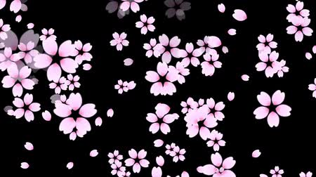 Falling while rotating cherry blossom and petals on black background. Stock Footage