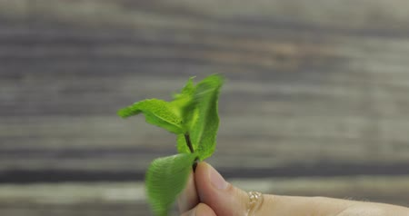 petržel : Fresh mint in hand on wooden background.