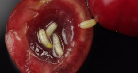 изобилие : Fruit worms in rotten cherry, black background. Larva of cherry flies. Extreme closeup