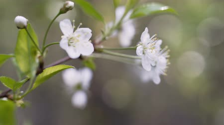 dáma : A blooming branch of apple tree in spring with light wind. Blossoming apple with beautiful white flowers.