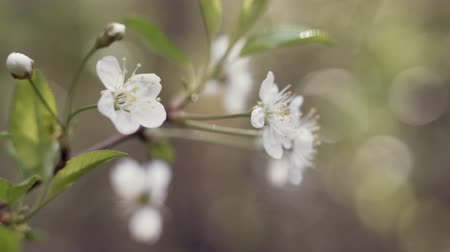 florescência : A blooming branch of apple tree in spring with light wind. Blossoming apple with beautiful white flowers. Branch of apple tree in bloom in the spring in sunshine garden. Vídeos