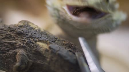pogona : The bearded Agama Lizard (Pogona vitticeps, bearded dragon) catches the cockroach. Stock Footage