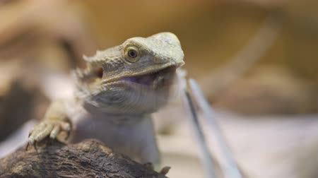 pogona : A Bearded Dragon with tongue out getting ready to eat a cockroach Stock Footage