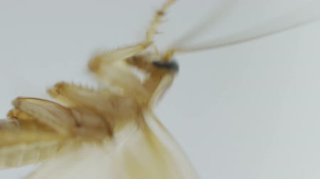 insects isolated : Macro shot of Brown cockroach