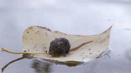 river rat : A little mouse swims on a yellow leaf of a tree Stock Footage