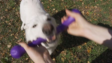 разорвал : An energetic white Swiss Shepherd pulls a blue rubber toy from his master Стоковые видеозаписи