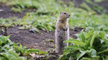 squirrel : Gopher (ground squirrel).