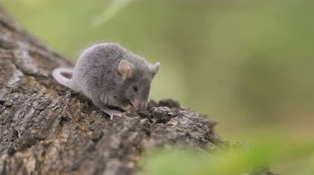 rubbish : Mouse on a Branch in the Autumn Forest Stock Footage