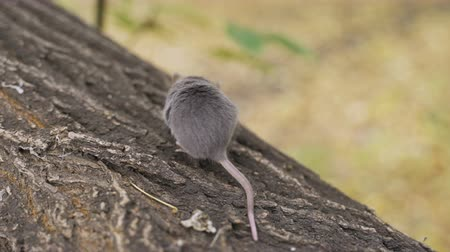 gnawer : Mouse on a Branch in the Autumn Forest Stock Footage