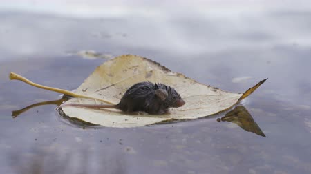 river rat : A little mouse is floating on a leaf of a tree after a flood.