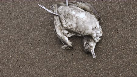 grotesque : Dead seagull on the beach. Concept - environmental pollution, oil spills, climate change, ocean pollution