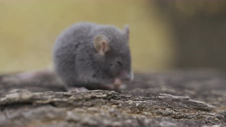 european wood mouse : A small harvest mouse Stock Footage