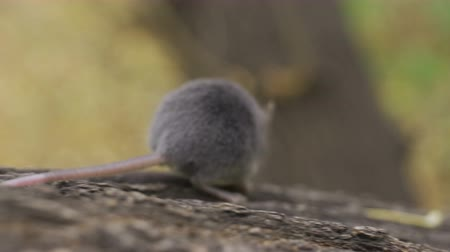 european wood mouse : Wild wood mouse sitting on the forest