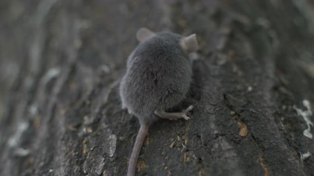 european wood mouse : Wild Wood mouse resting on the root of a tree on the forest floor. Stock Footage
