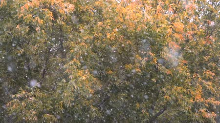 donuk : Slow motion shot of autumn snowfall on the background of faded trees with few dry leaves