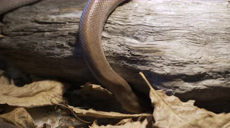 boa : The snake crawls along the branch at home. Reptiles in role of domestic pets concept