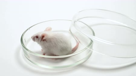szczur : White laboratory mouse on the table in the laboratory. On a white background. The mouse is used for experiments, drug tests, scientific research. Concept - animal testing, medical research