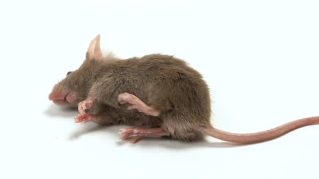lijk : The dead mouse is isolated on a white background Stockvideo