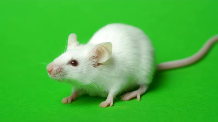 domestic animals : White mouse on a green background.