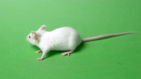 részvények : White laboratory mouse isolated on green background. Stock mozgókép
