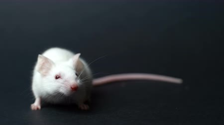 deha : Cute white mouse on a black background.