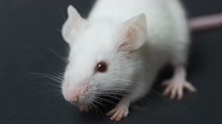 szczur : white mouse lies on a dark background