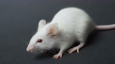 fobi : front view of white mouse sitting on a grey background