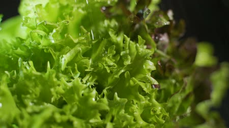 вегетарианство : Slow motion view on lettuce sprayed with water on a dark background closeup