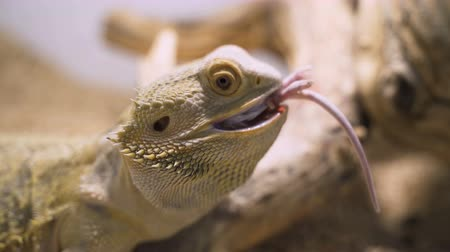 pogona : Bearded agama male eats mouse in terrarium Stock Footage
