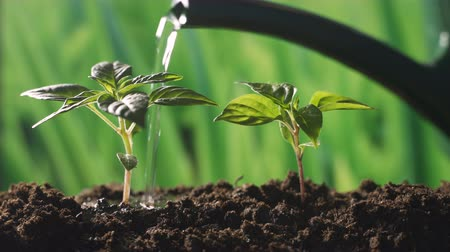 seedlings : water the plants in the garden Stock Footage