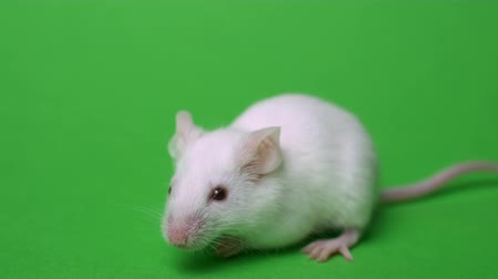 single shot : White mouse is cleaned and runs on a green background Stock Footage