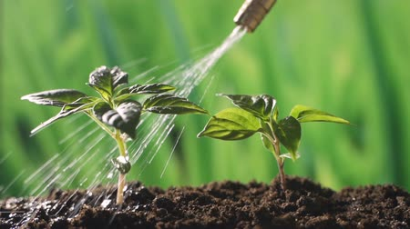 meşe palamudu : water spraying sprout seed