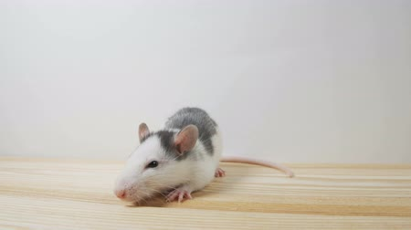 rat on a white background Стоковые видеозаписи