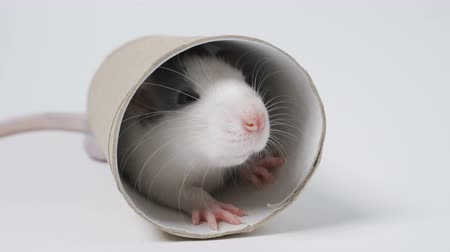 궁금 : rat on a white background 무비클립