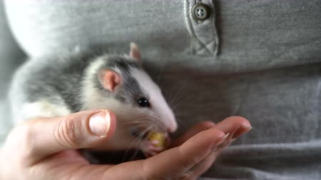 A domestic hand-held rat sits on his hands and eats Wideo