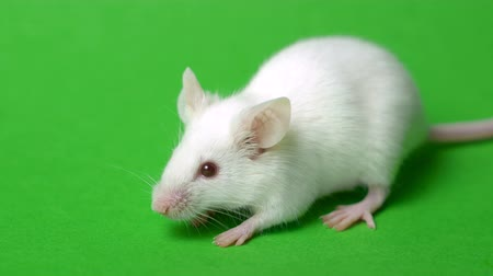 white mouse on a green grass background