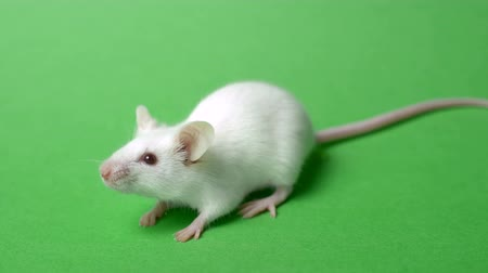 curiosidade : white mouse on a green grass background