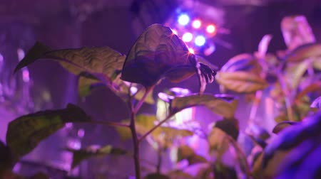 vegetativo : The plant under led lamp special Spector. Ultraviolet lamp. Stock Footage