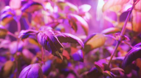 hydroponic : Cultivation of plants under red ultraviolet light. Greenhouse with ultraviolet lamps for plant growth