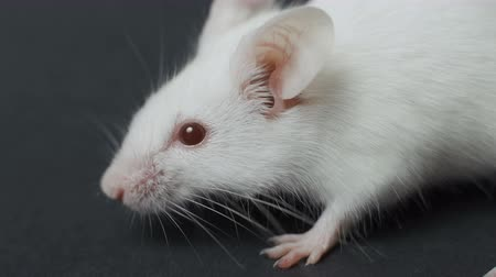 fobi : white mouse on black background closeup. Stok Video