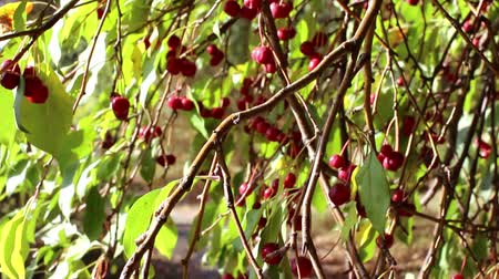 üvez ağacı : Ranetki red on a tree in autumn Stok Video