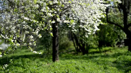 The tree in the garden in spring Stock mozgókép