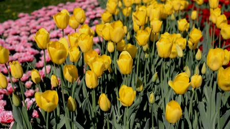 yellow tulips Stock mozgókép