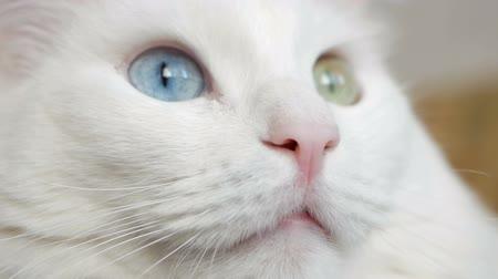 pelyhes : White cat with multicolored eyes macro photography. Turkish Angora looking at camera closeup