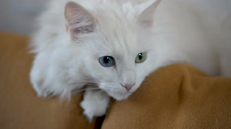 embarrassed : White Angora cat with multi-colored eyes is lying on the couch. Stock Footage