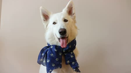 zsebkendő : A very cheerful Berger Blanc Suisse looks at you. On the neck is a blue handkerchief.